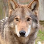 Wolfsbesuch  (1)