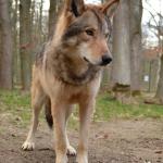 Wolfsbesuch  (2)