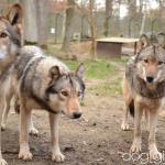 Wolfsbesuch  (5)